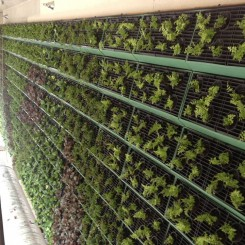 Baby greens growing on wall